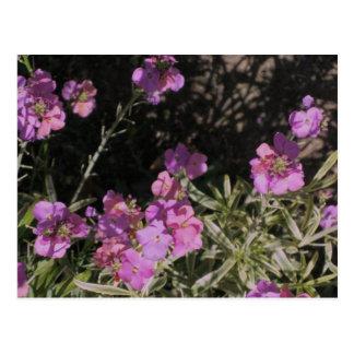 Wallflower rosado de la lavanda postal