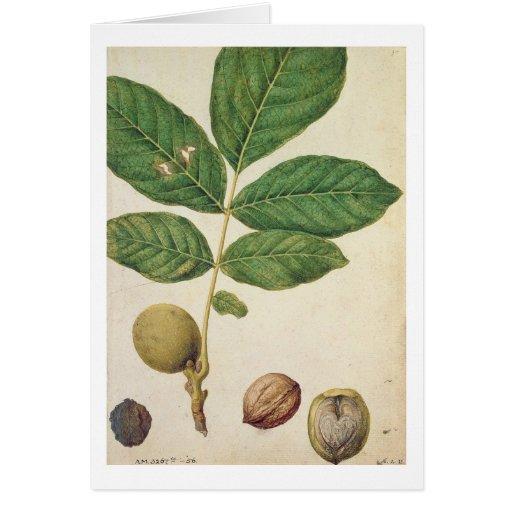 Walnut, c.1568 (w/c on paper) greeting card