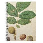 Walnut, c.1568 (w/c on paper) journal