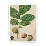 Walnut, c.1568 (w/c on paper) rectangular photo magnet