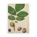 Walnut, c.1568 (w/c on paper) rectangle magnets