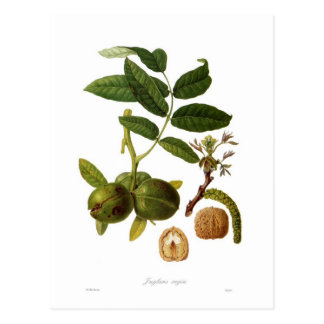 Walnut Postcard