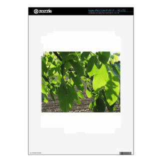 Walnut tree branches with green leaves iPad 3 decals