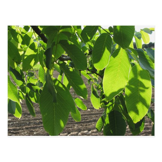 walnut tree branches with green leaves postcard