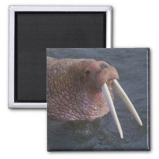 Walrus 2 Inch Square Magnet
