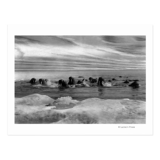 Walrus among the Ice Floes in Bering Sea Postcard