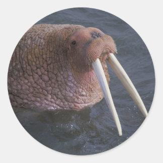 Walrus Classic Round Sticker