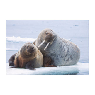 Walrus cow and calf rest on a sea ice floe gallery wrap canvas