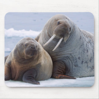 Walrus cow and calf rest on a sea ice floe mouse pad