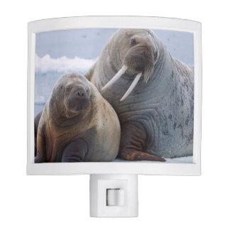 Walrus cow and calf rest on a sea ice floe night light