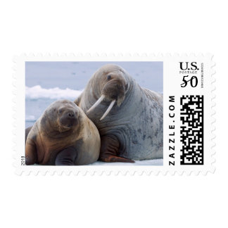Walrus cow and calf rest on a sea ice floe postage
