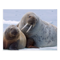 Walrus cow and calf rest on a sea ice floe postcard