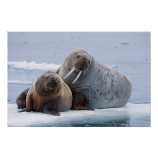 Walrus cow and calf rest on a sea ice floe poster