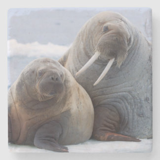 Walrus cow and calf rest on a sea ice floe stone coaster