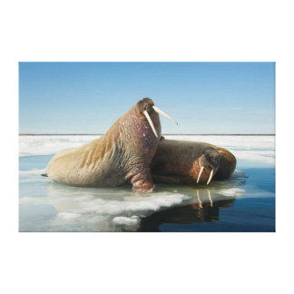 Walrus group rests on sea ice under a sunny sky gallery wrapped canvas