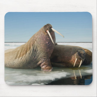 Walrus group rests on sea ice under a sunny sky mouse pad