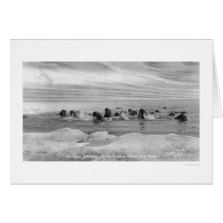 Walrus Herd, Bering Sea, Alaska 1909 Card