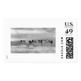 Walrus Herd, Bering Sea, Alaska 1909 Postage