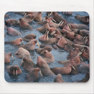 Walrus Herd Mouse Pad