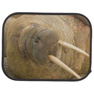 Walrus large bull resting on a beach car mat