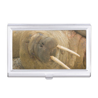 Walrus large bull resting on a beach case for business cards