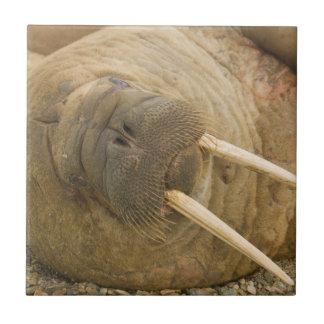 Walrus large bull resting on a beach ceramic tile
