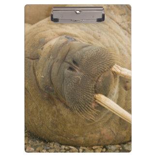 Walrus large bull resting on a beach clipboard