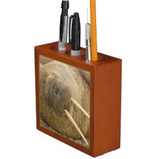 Walrus large bull resting on a beach desk organizer