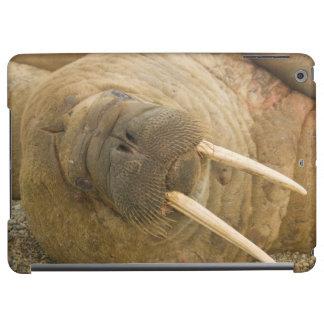 Walrus large bull resting on a beach iPad air cover
