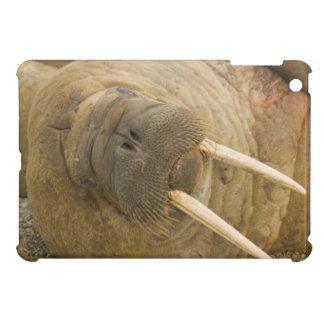 Walrus large bull resting on a beach iPad mini covers