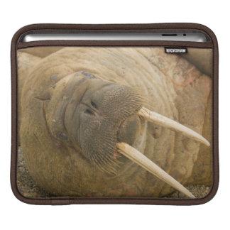 Walrus large bull resting on a beach iPad sleeve