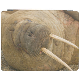 Walrus large bull resting on a beach iPad smart cover