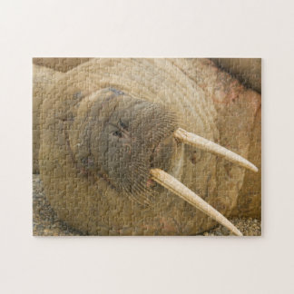 Walrus large bull resting on a beach jigsaw puzzle