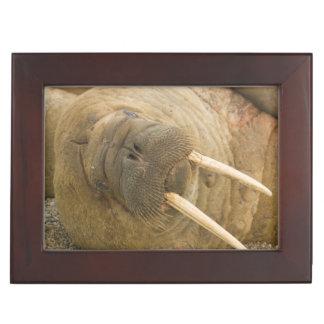Walrus large bull resting on a beach keepsake box