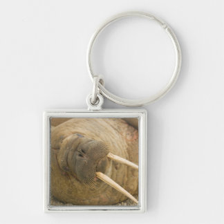 Walrus large bull resting on a beach keychain