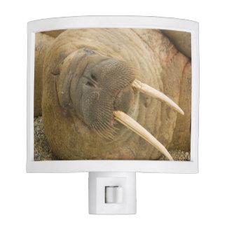 Walrus large bull resting on a beach night light