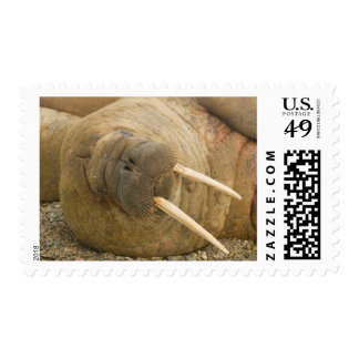 Walrus large bull resting on a beach postage