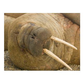 Walrus large bull resting on a beach postcard