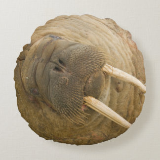 Walrus large bull resting on a beach round pillow