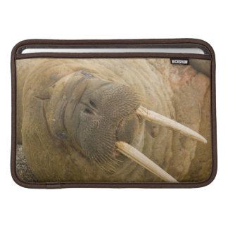 Walrus large bull resting on a beach sleeve for MacBook air