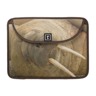 Walrus large bull resting on a beach sleeve for MacBooks