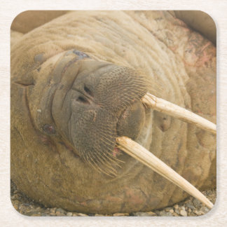Walrus large bull resting on a beach square paper coaster