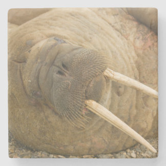 Walrus large bull resting on a beach stone coaster