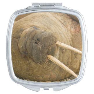 Walrus large bull resting on a beach vanity mirror