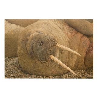 Walrus large bull resting on a beach wood print