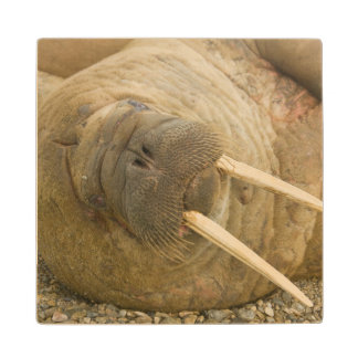 Walrus large bull resting on a beach wooden coaster