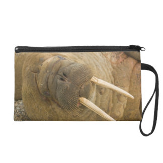 Walrus large bull resting on a beach wristlet purse