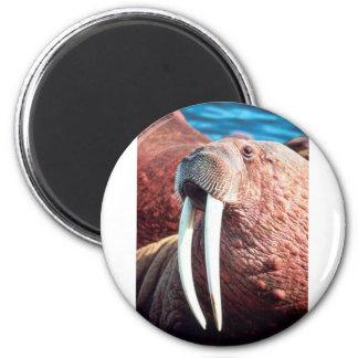 Walrus Refrigerator Magnet