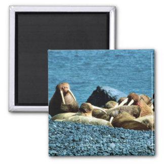 Walrus Refrigerator Magnets
