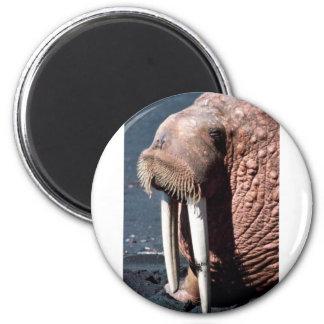 Walrus Magnet